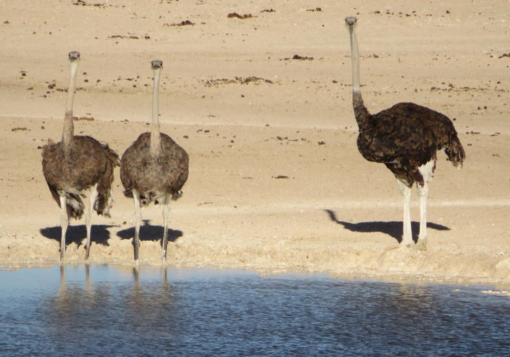 ostriches-drinking