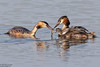 Great Crested Grebe, Podiceps cristatus by Kevin B Agar