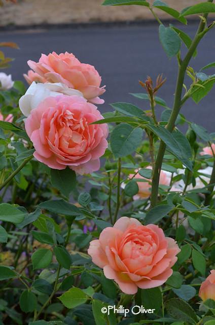 rose-lady-of-shallot