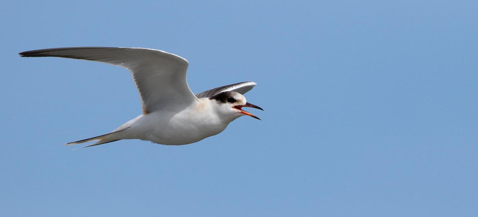 Juvenile Common Tern