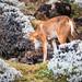 Ethiopian Wolf Pups by Will Burrard-Lucas | Wildlife
