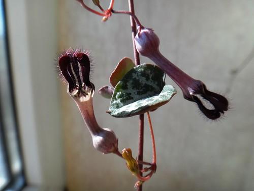 Цветок церопегии
