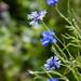 Scotland's Gardens Craigintinney Telferton July 2018 -169