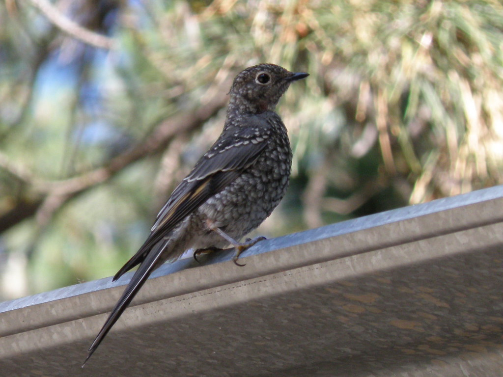 P7306013...townsend's solitaire juvenile