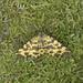 Speckled Yellow, Warton Crag, Lancashire, England
