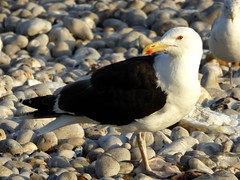 Goéland argenté - European Herring Gull