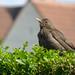 Blackbird, 2018 Jul 19 -- photo 2