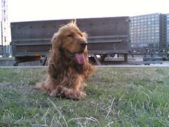 dog breed, animal, sussex spaniel, dog, english cocker spaniel, spaniel, carnivoran,