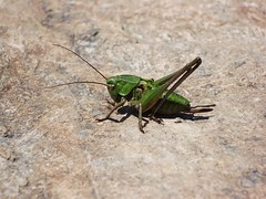 wing(0.0), arthropod(1.0), locust(1.0), animal(1.0), cricket(1.0), invertebrate(1.0), insect(1.0), macro photography(1.0), grasshopper(1.0), fauna(1.0), close-up(1.0),