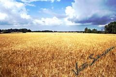 Summer field (Signed)