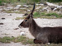 deer(0.0), animal(1.0), antelope(1.0), mammal(1.0), waterbuck(1.0), fauna(1.0), wildlife(1.0),