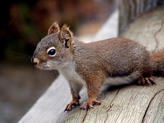 animal, squirrel, fox squirrel, rodent, fauna, whiskers, gerbil, wildlife,