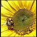 sunflower by david_phil