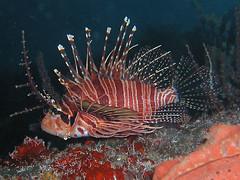 Dive Timor - Com Pier