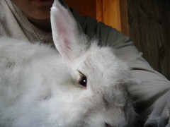 nose, animal, white, rabbit, domestic rabbit, pet, angora rabbit, whiskers, rabits and hares,