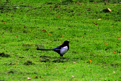 animal, grass, nature, green, fauna, meadow, beak, eurasian magpie, bird, wildlife,