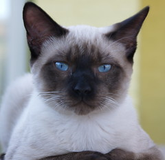 animal, siamese, small to medium-sized cats, pet, snowshoe, thai, tonkinese, close-up, cat, burmese, carnivoran, whiskers, balinese,
