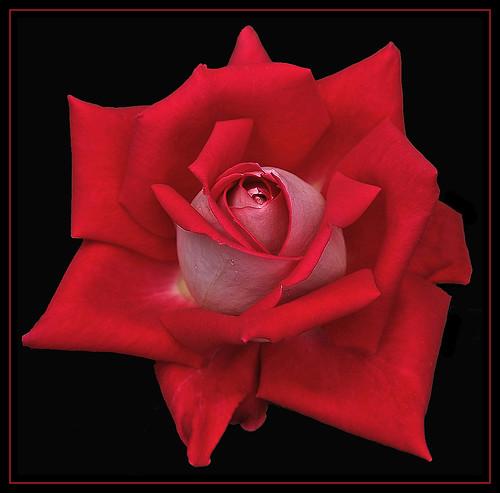 Rose 2-Tone 4