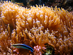 coral reef, animal, coral, coral reef fish, organism, macro photography, stony coral, fauna, natural environment, underwater, reef, pomacentridae, sea anemone,