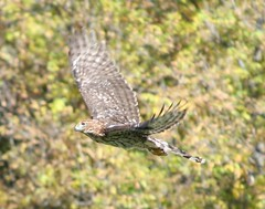 harrier(1.0), animal(1.0), hawk(1.0), bird of prey(1.0), falcon(1.0), wing(1.0), fauna(1.0), buzzard(1.0), accipitriformes(1.0), beak(1.0), bird(1.0), wildlife(1.0),