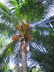 arecales, tropics, palm family, tree, produce, fruit, food,