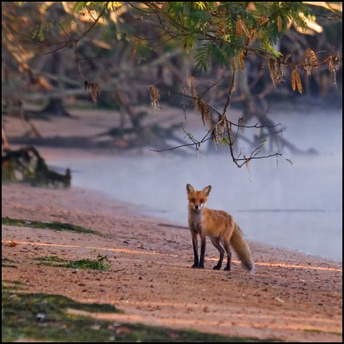 Red Fox @ Mason Neck, Va