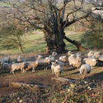 Sheep near Moulismes