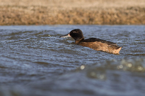 Pato Cabeza Negra - Heteronetta atricapilla - Black-headed Duck ♂