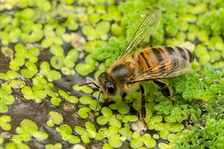 Honey bee (Apis sp.) - DSC_6278