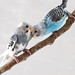 earl and moms budgie by ocimum_nate