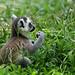 ワオキツネザル:Ring-tailed Lemur  by photosumika