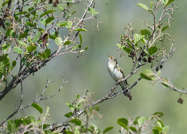Pouillot fitis-Phylloscopus trochilus - Willow Warbler 5928_DxO.jpg