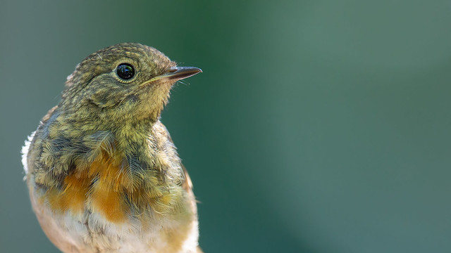 The Young One - Robin