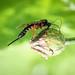 Ichnuemon sp. - Pimpla glandaria