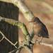 Blackbird (juvenile)