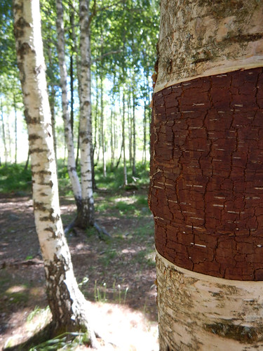 A partially stripped Birch trees in Tanum, Sweden