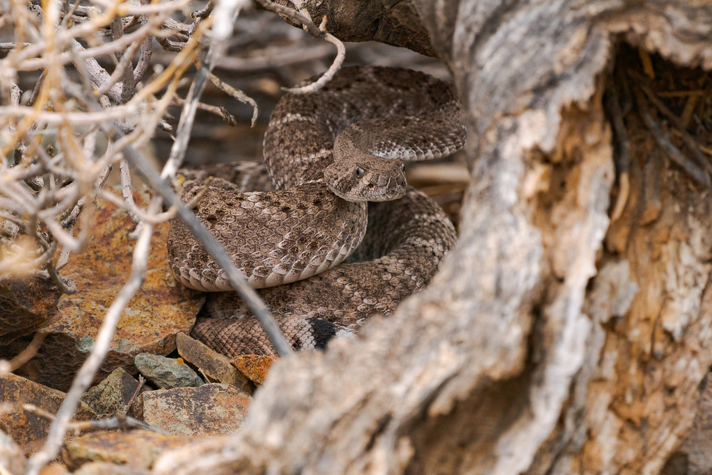 A coiled western diamondback rattlesnake with its head up underneath a dead tree on the Sidewinder Trail at Phoenix Sonoran Preserve in Phoenix, Arizona