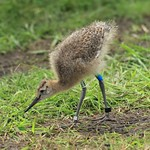 WE-GT-2018 Project Godwit chick GB-WL(E)