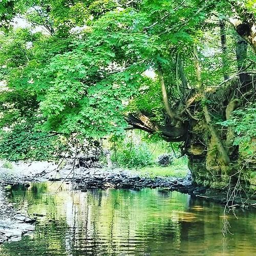 Trees overhanging the creek #hunterscreekpark #wny #eastaurora #nature #hiking #trees #stream #runningwater
