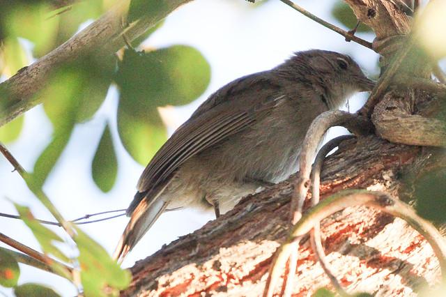 Melaenornis pallidus (Pale Flycatcher)