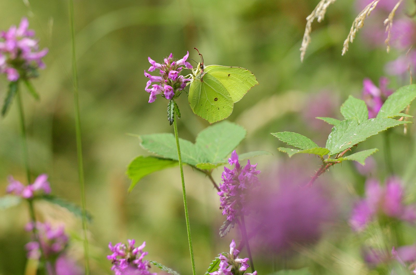 Brimstone in Woodland Meadow