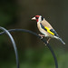 Goldfinch by jillyspoon