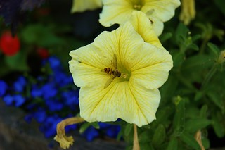 Hoverfly on yellow Petunia