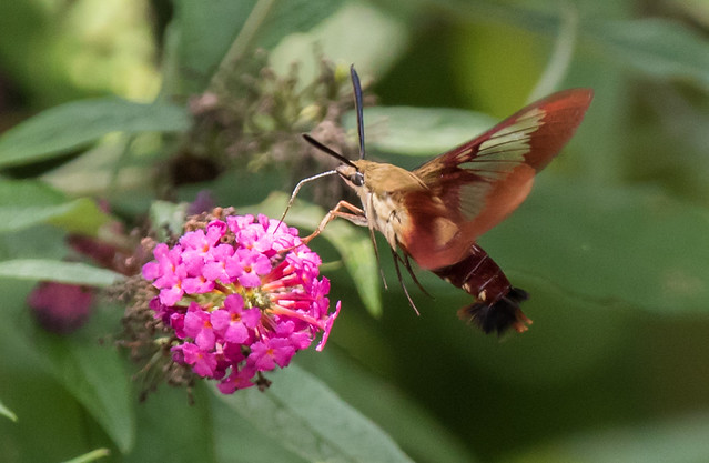 Hemaris thysbe - Hummingbird Moth