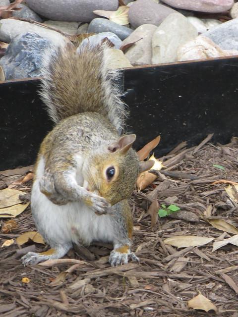 Sneezing Squirrel