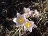 Le printemps est arrivé dans les estives (anémone pulsatille)