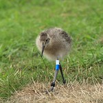 WE-GT-2018 Project Godwit chick WB-WL(E)3