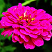 Common Zinnia
