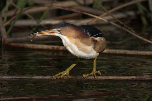 leastbittern ixobrychusexilis