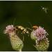 Strangalia Maculata And Cardinal Beetle.
